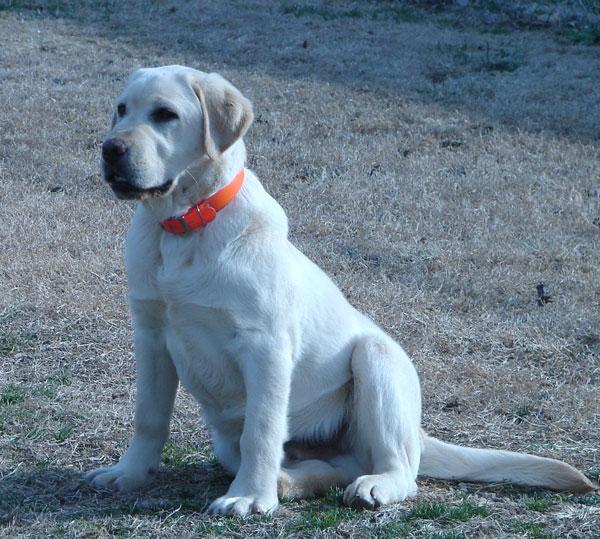 Miller Labradors - Breeder of AKC Labrador Retrievers